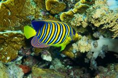 Royal Angelfish against Reef