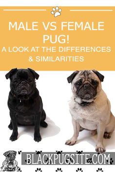 There are some distinct personality traits and differences between caring for a male or female pug. However, the biggest difference is the cost . Black Pug Puppies, Lab Puppies, Terrier Puppies, Bulldog Puppies, Boston Terrier, Pug Facts, Pug Quotes, Old Pug, Fawn Pug
