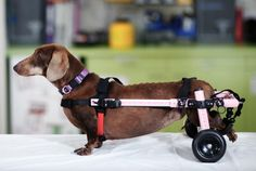 Our veterinarian-approved Walkin' Wheels wheelchair is designed to help animals with hip, back and leg problems including: - Degenerative myelopathy - Hip dysplasia - Arthritis - Paralysis - Slipped o