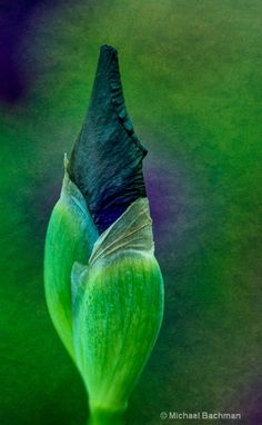 ~~ Iris bud by Michael Bachman ~~  [All my newly planted iris varieties are this dark in the bud stage, but then open and surprise me.]