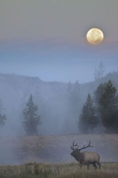 Yellowstone National Park Wyoming -=- Photograph of a Bull Elk Absolutely Amazing.... #Relax more with healing sounds: