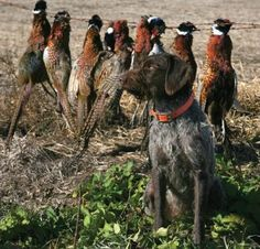Tracking dogs #GermanWirehairedPointer