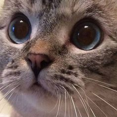 17 Overly Cute Cats 17 Overly Cute Cats Thatll Make You Jealous Youre Not Their Owner Pretty Cats, Beautiful Cats, Animals Beautiful, Gorgeous Eyes, Cute Baby Animals, Animals And Pets, Funny Animals, Cute Kittens, Cats And Kittens