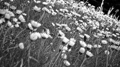 Black & White Daisies