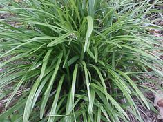 Monkey grass-just a few starters-have to start somewhere!!!!