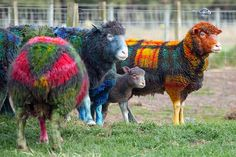 Farmer Grant Bell has come up with a colourful celebraration for Tartan Week - Tartan Sheep.