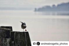 #Repost @andreabragetta_photos  Equilibrium . . . #equilibrium #seagull #peace #lake #lagotrasimeno #trasimenolake #view #water #nikon #nikontop #nikonphotography #nikond3300 #d3300