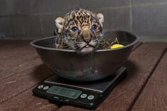 Baby Jaguar at the San Diego Zoo
