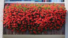NapadyNavody.sk   Ako sa starať o muškáty čo najlepšie, aby sa vám odmenili bohatými žiariacimi kvetmi Gardening, Plants, Diy, Petra, Chemistry, Do It Yourself, Bricolage, Lawn And Garden, Plant