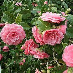 Camellia japonica 'Mrs Tingley' (U.S., 1948)