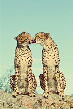 PURE GEPARD LOVE ♥♥♥                                                                                                                                                                                 Mehr