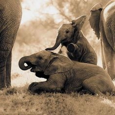 Please follow us: @Elephant_lover_dj IF YOU LOVE THEM Via @daily.elephant Thank you so much !!! . . . #elephant#elephants#elephantbar#elephantear#elephantart #elephantlove#elephantride#elephantprint#elephantlover #elephantears#elephantseals#elephantrock#elephantarmy #elephantcamp#elephantseal#elephantparade#elephantday #elephantmug#elephant#elephanttoy#elephantrescue #elephantbutte#elephantshirt#elephantriding#elephanttrekking #elephantlife#elephantskin#elephantastic#elephantlovers...