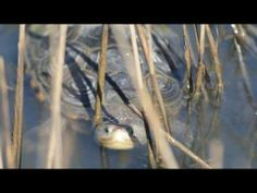 Texas Diamondback Terrapin - Environmental Institute of Houston - YouTube | Rachel George and Bryan Alleman, EIH Herpetologists, describe the research being conducted by the Environmental Institute of Houston on Texas Diamondback Terrapin, a unique Texas species.