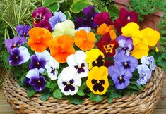 Pansies!  Can't wait for spring so we can plant some in window boxes.