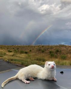 Mar 2020 - Oliver the white-coated ferret loves to hike, kayak and nap across the country Pretty Animals, Cute Little Animals, Small Animals Pets, Cute Ferrets, Hamsters, Pet Ferret, Exotic Pets, Beautiful Creatures, Cats And Kittens
