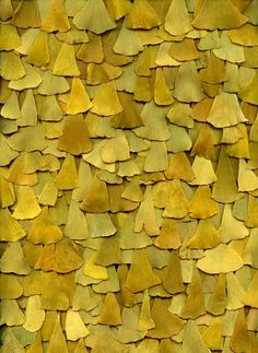 Ginko - Leaves turn a buttery yellow in the Fall and are beautiful when the sun shines on them. This brilliant colleague reminds me of shingles on a building.