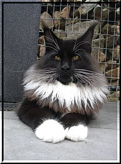 Maine Coon Black White Cat ........ Kithara's Intense Passion