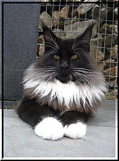 Maine Coon Black White Cat ........ Kithara's Intense Passion
