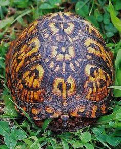 Box Turtle Shell Pattern by David Robert Crews Nature Animals, Animals And Pets, Cute Animals, Colorful Animals, Wild Animals, Beautiful Creatures, Animals Beautiful, Land Turtles, Box Turtles