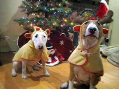 Christmas Bull Terriers
