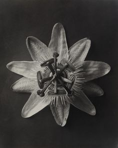 xxx Passiflora. Passionflower, enlarged 4 times.  Karl Blossfeldt (German, 1865-1932)    1898-1932.
