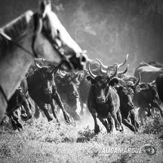 #camargue #bull En savoir plus sur l'univers camargue : http://www.chevalcamargue.fr/