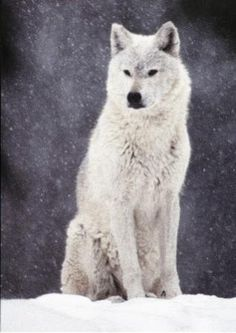 The white wolf, in my opinion, is one of the most majestic creatures on earth. Like if you agree!