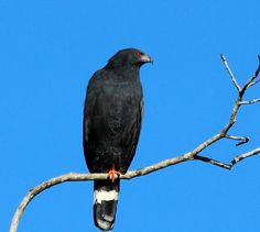 Crane Hawk (Geranospiza caerulescens) Perched bird on a dead tree. Raptor Bird Of Prey, Birds Of Prey, Tree Forest, Exotic Birds, Falcons, Raptors, Portrait Art, Crane, Eagles