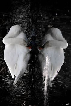 #Nature - Reflections of a Swan