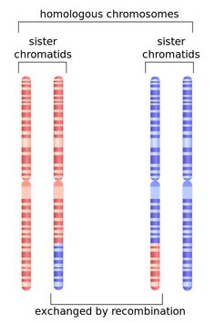 Depiction of chromosome 1 after undergoing homologous recombination in meiosis