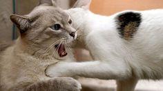Come capire perché i gatti di casa litigano