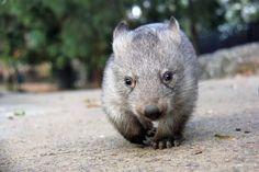 Chloe the baby wombat at Taronga Zoo Baby Wombat, Baby Zoo Animals, Cute Animals, Animal Babies, The Wombats, Zoo Keeper, Australian Animals, Animal Rescue Shelters, Animals Beautiful