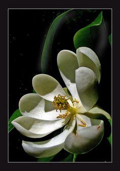 """Sweetbay Blossom"" - © Claude Corbin"