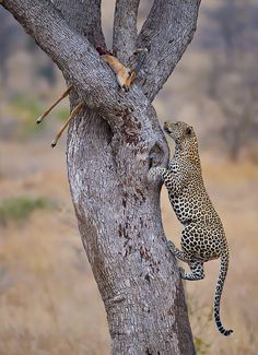 A leopard climbing up a tree to eat it's already killed prey.