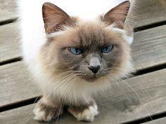 Burmese cat 19 pictures (19)