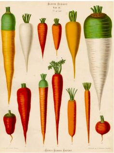 A Chromolithograph plate of Carrot varieties taken from the Album Benary. The Album contains 28 colour plates in total of vegetable varieties by Ernst Benary which are named in the accompanying page in German, English, French and Russian. William Turner, Fine Art Prints, Framed Prints, Canvas Prints, Carrot Varieties, Vegetable Prints, Botanical Prints, Botanical Drawings, Artwork Online