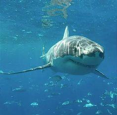 Baby Shark Do Do, Amazing Beasts, Cool Sharks, Shark Facts, Shark Photos, Great Fear, Shark Bites, Great White Shark, Orcas