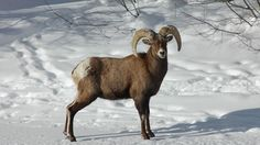 Colorado's state mammal, the bighorn sheep in the snow