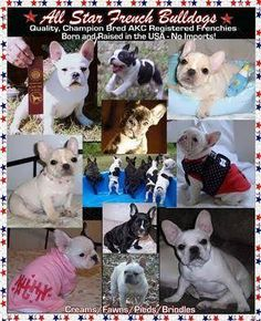 00a45f9938c1e 11 Best French Bulldog Dogs   Puppies images