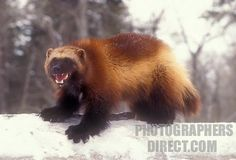North American Wolverine, gulo gulo luscus, also known as the glutton. Adult on Snow, Canada Wild Creatures, Woodland Creatures, Rare Animals, Animals And Pets, Wild Animals, Wolverine Animal, Wolverine Images, Wolverine Art, Beautiful Creatures
