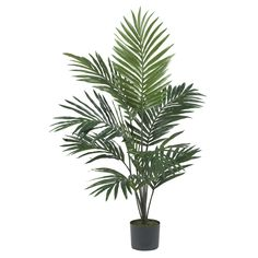5 foot Kentia Palm Tree: Potted