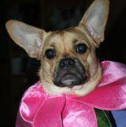 My french bulldog corgi cross.  Adopt a pet...they teach you how to be human.
