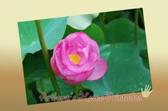Lotus A4 Poster/ Flower Photography by ArtloversHome on Etsy