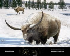 prehistoric giant buffalo - Google Search