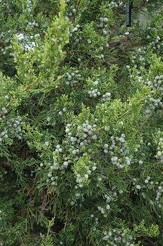 Find Fairview Juniper (Juniperus chinensis 'Fairview') in Burlington Waterdown Dundas Ontario Ontario ON at Connon Nurseries Lakeside Terrace, Planting Plan, Full Size Photo, Evergreen Shrubs, Terrace Garden, Front Yard Landscaping, Colour Schemes, Garden Styles, Perennials