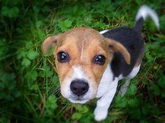 ♥DS♥ 34 Beagle Puppy