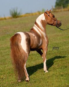 Strawberry roan pinto Miniature Horse with beautiful markings.