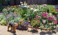 How to create a dog friendly garden with pet friendly plants, hardscapes, and pet play areas to be enjoyed by you and your dogs.  Pet friendly landscaping uses an organic approach to gardening. One that is safer and healthier for our families and dog friends.
