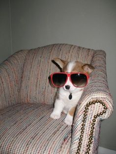 oversized sunglasses, | 108 Reasons Why Corgis Really Are That Great