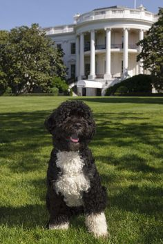 Barack Obama's Bo (Portuguese Water Dog)   Counting Down The 18 Cutest Presidential Dogs Of All Time